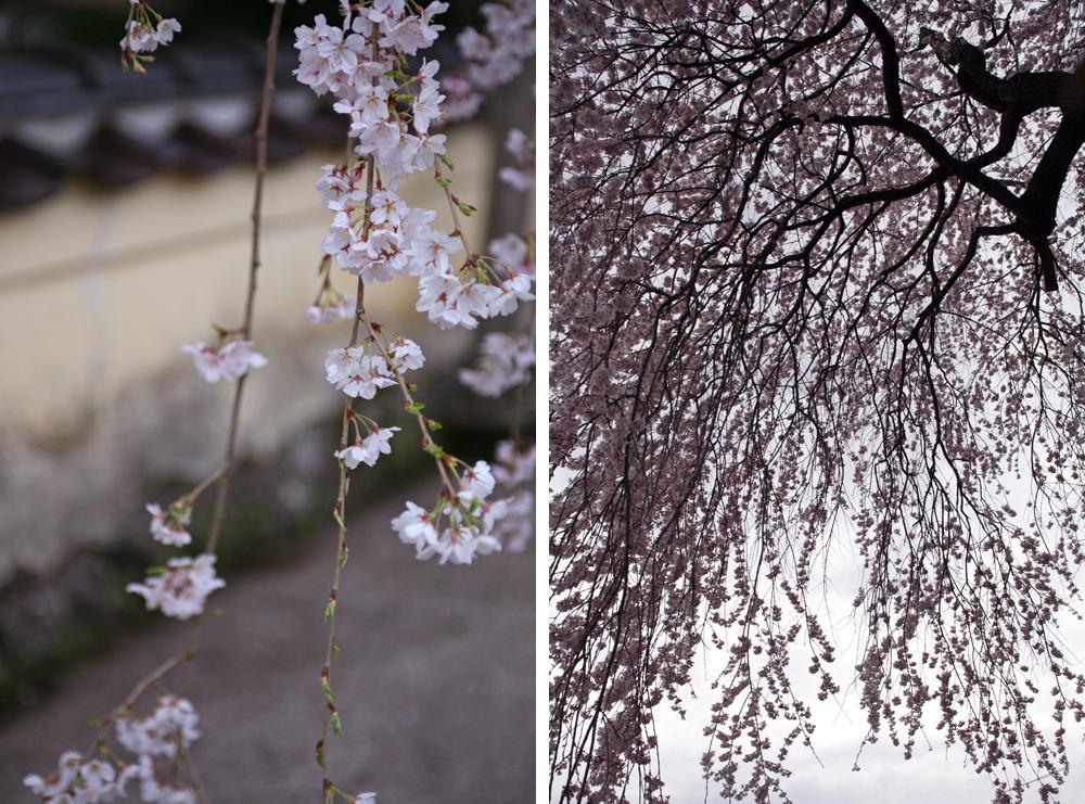 しだれ桜02